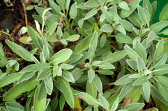Looking down on large garden sage plant. Close up of large organic culinary sage plant in backyard garden Stock Image