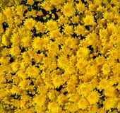 Golden Yellow Mums Stock Photos