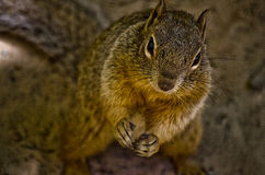 Looking down onto a Squirrel. Macro shot of a Squirrel royalty free stock image