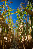 Looking down row of cornfield. Looking down a corn field with very blue sky caused by polarizer Stock Photos