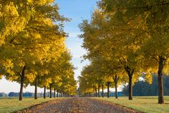 Autumn Sentinals. Looking down a row of golden trees royalty free stock photos