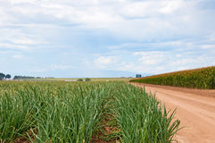 Looking down a row of onions next to a cornfield Stock Photo