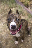 Looking down on a smiling brindle dog Stock Photos