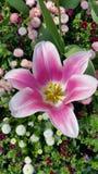 Pastel pink star shaped tulip head Stock Photo