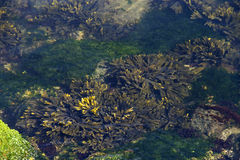 Looking down into tide pool with sea weed, coral and algae in shallow Stock Photography