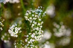 White Alyssum taken from above royalty free stock image
