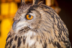 Looking eagle owl in a sample of birds of prey, medieval fair Royalty Free Stock Photo