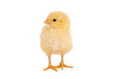 Looking easter chick. Lovely little yellow easter chick of only 1 day old Royalty Free Stock Photo