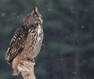 Looking Eurasian Eagle-Owl Stock Photo