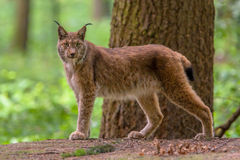 Looking Eurasian Lynx. Eurasian lynx (Lynx lynx) is a medium-sized cat native to European and Siberian forests Stock Photos