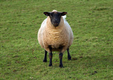 Looking at ewe Royalty Free Stock Photo