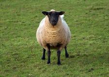Looking at ewe. Sheep looking directly at you Royalty Free Stock Photo