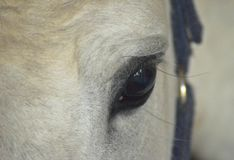 Looking in the eye of a white horse. Detail of a beautiful hungarian horse Stock Image