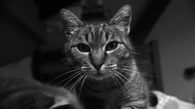Looking into the eyes. A beautifull cat looking at the camera royalty free stock images