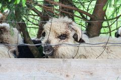 Looking face sheep behind net. Animals in zoo stock photography