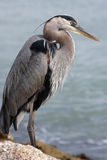 Looking For Fish. Great Blue Heron standing by waterway in Sarasota, Florida Royalty Free Stock Photo