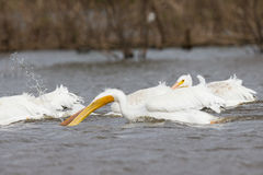 Looking for fish. Pelicans Looking for fish in Lake Hefner royalty free stock photography