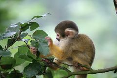 Looking for food. Cute little squirrelmonkey looking for food stock photos