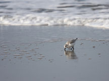 Looking for food. A photo of a bird (alba calidris stock image