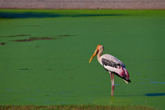 Looking for Food. A painted stork is looking in a pond to find some food Royalty Free Stock Images