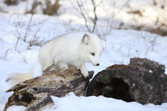 Looking for food. Arctic Fox Searching for prey and food in wintertime by log Royalty Free Stock Photos