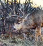 A big senior mule buck deer with a huge rack of antlers in the scrub oak. Looking for food wanter this old timer with well pronounced trophy antlers pauses for a stock image