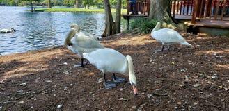 Beautiful Swans Royalty Free Stock Image