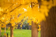 Free Looking For The Fairy Tale Of Autumn, Lost In The Ginkgo Hometown Of The Sea Township, Beautiful Ginkgo Tree Leaves In The Temple Royalty Free Stock Image - 176856366