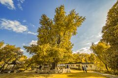 Free Looking For The Fairy Tale Of Autumn, Lost In The Ginkgo Hometown Of The Sea Township, Beautiful Ginkgo Tree Leaves In The Temple Stock Photography - 177077942
