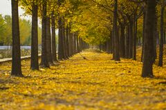 Free Looking For The Fairy Tale Of Autumn, Lost In The Ginkgo Hometown Of The Sea Township, Beautiful Ginkgo Tree Leaves In The Temple Stock Image - 177077991