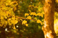 Free Looking For The Fairy Tale Of Autumn, Lost In The Ginkgo Hometown Of The Sea Township, Beautiful Ginkgo Tree Leaves In The Temple Stock Photos - 177078033