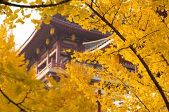 Free Looking For The Fairy Tale Of Autumn, Lost In The Ginkgo Hometown Of The Sea Township, Beautiful Ginkgo Tree Leaves In The Temple Royalty Free Stock Photos - 177078088