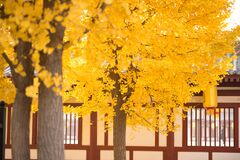 Free Looking For The Fairy Tale Of Autumn, Lost In The Ginkgo Hometown Of The Sea Township, Beautiful Ginkgo Tree Leaves In The Temple Royalty Free Stock Photo - 177078155