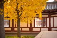 Free Looking For The Fairy Tale Of Autumn, Lost In The Ginkgo Hometown Of The Sea Township, Beautiful Ginkgo Tree Leaves In The Temple Royalty Free Stock Images - 177078159