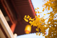 Free Looking For The Fairy Tale Of Autumn, Lost In The Ginkgo Hometown Of The Sea Township, Beautiful Ginkgo Tree Leaves In The Temple Stock Photo - 177078170
