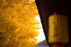 Free Looking For The Fairy Tale Of Autumn, Lost In The Ginkgo Hometown Of The Sea Township, Beautiful Ginkgo Tree Leaves In The Temple Stock Photography - 177078282