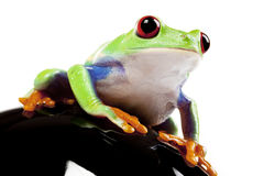 Looking Froggy Stock Photography