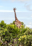 Looking giraffe Stock Photos