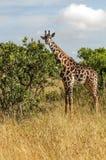 Looking giraffe Royalty Free Stock Image