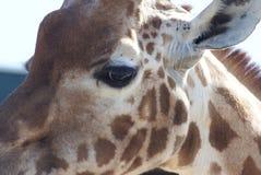 Giraffe's eye. Looking into a giraffes eye Royalty Free Stock Photos