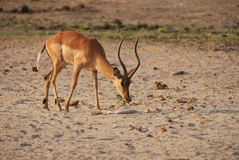 Looking for grass (Aepyceros melampus) Royalty Free Stock Image