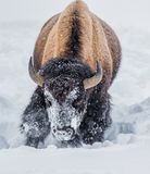 Looking for grass, Yellowstone buffalo digs in deep snow with hi stock photo