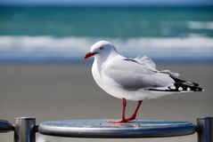 Looking for a handout. Seagull waiting for a handout at Brighton, Christchurch, New Zealand stock photography