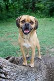 Puggle at the park royalty free stock photography