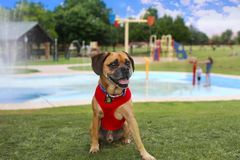 Puggle at the playground royalty free stock image