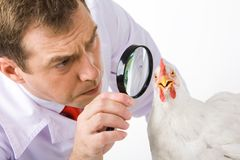 Looking at hen Royalty Free Stock Image