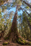 Looking high up at tall eucalyptus tree in Mt. Field National Pa Stock Photos