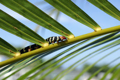 Looking for II. Caterpillar walking along a palm tree leaf Stock Image