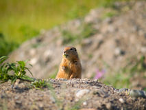 Looking inquisitive, small woodchuck. Small wild animal woodchuck stands inquisitively looking over brow of shingle mound surveying the terrain royalty free stock photos