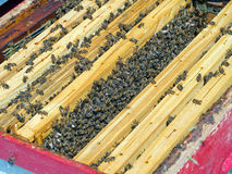 Looking inside the beehive - honey production. Royalty Free Stock Photo